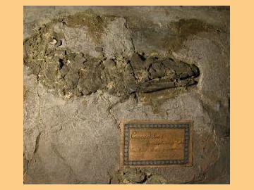 Un coccodrillo al Museo