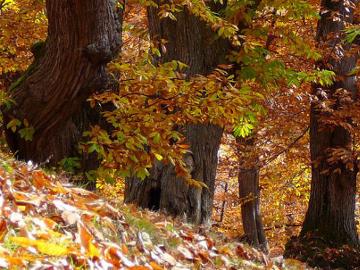 Valorizzazione del castagno da legno delle Piccole Dolomiti